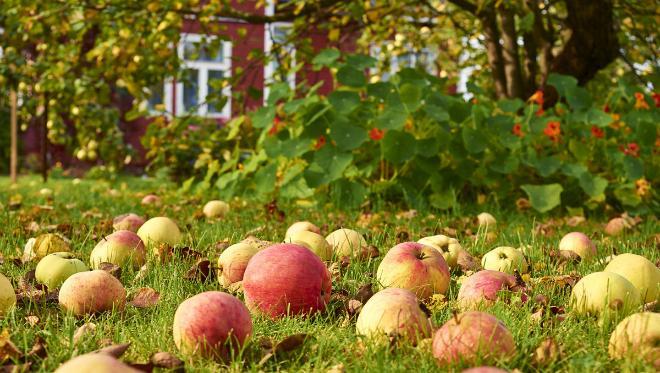 Избытки яблок в Подмосковье садоводы смогут сдать на переработку