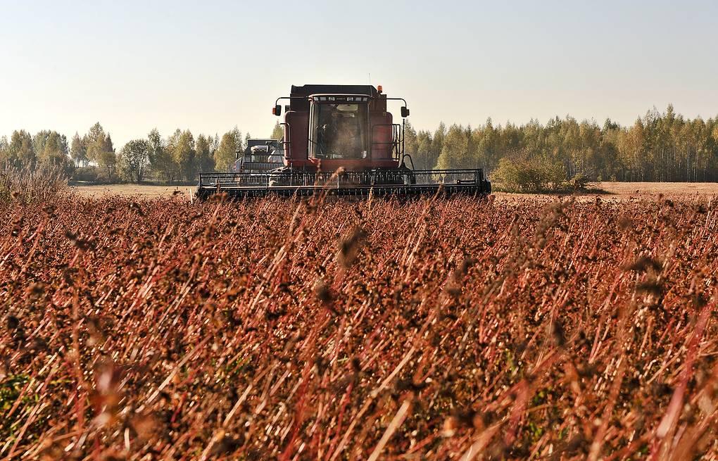 Из-за повышенного спроса на гречку посевы злака в России могут увеличить