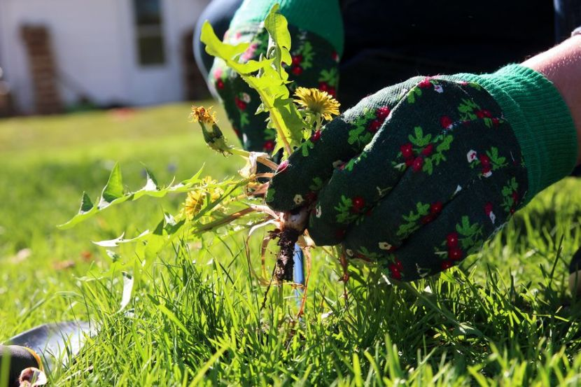 Дачников предупредили о штрафах за одуванчики и сорняки на участках